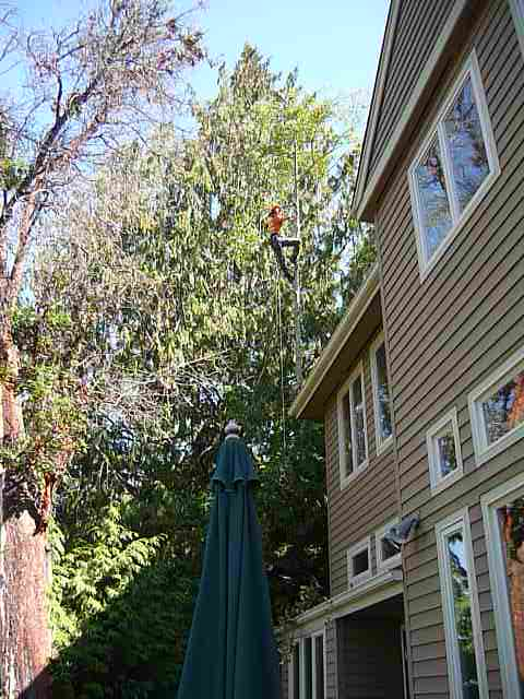 Uprooted alder removal at waterfront Steamboat residence